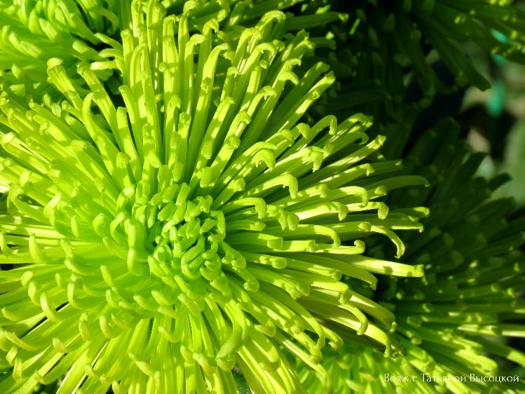 bal-hrizantem-v-nikitskom-botanicheskom-sadu