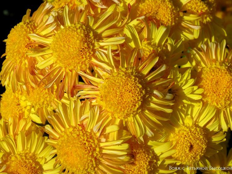 bal-hrizantem-v-nikitskom-botanicheskom-sadu_1