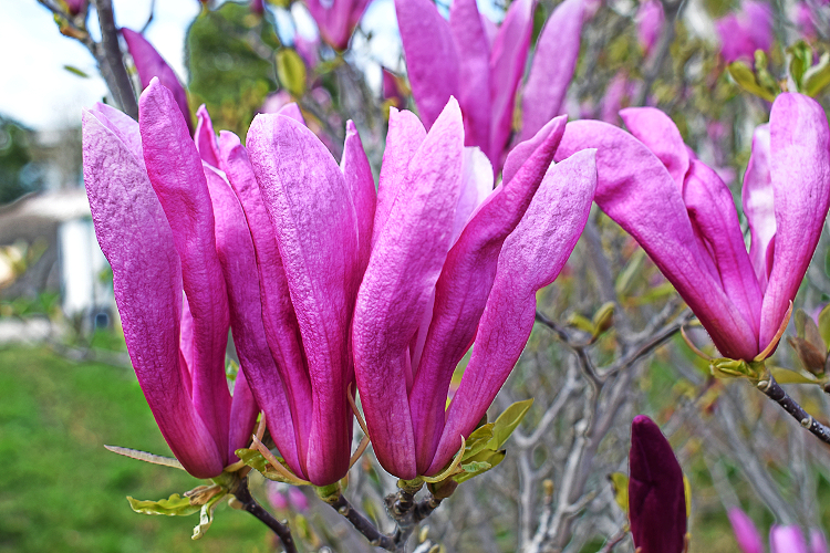 magnoliya-liliecvetnaya_2
