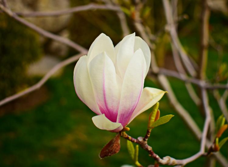 magnoliya-sulanzha