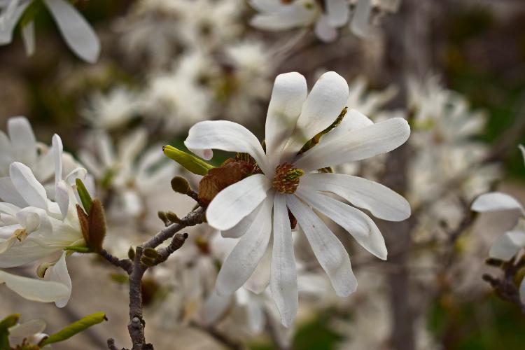 magnoliya-zvezdchataya