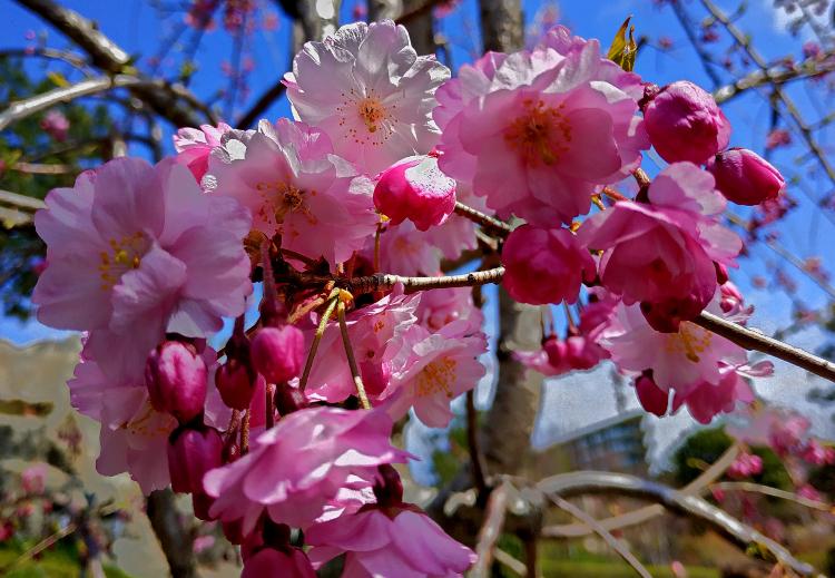 yaponskij-sad-sakura